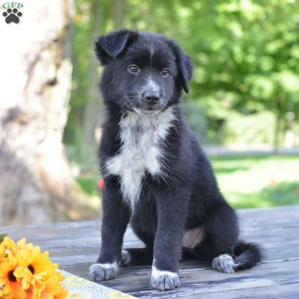 Debby Border Collie Mix Puppy For Sale In Ohio