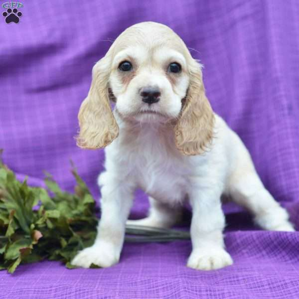 Hannah Cocker Spaniel Puppy For Sale In Ohio