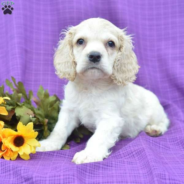 Holland Cocker Spaniel Puppy For Sale In Ohio