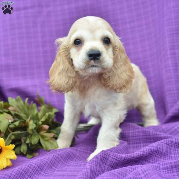 cocker spaniel puppies ohio