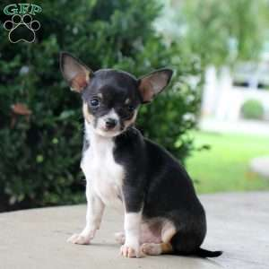 Chihuahua Puppies For Sale Chihuahua Breed Info Greenfield Puppies