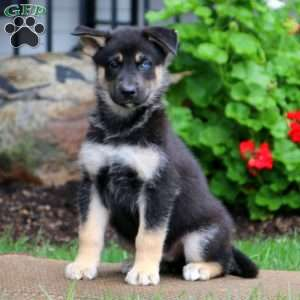 German Shepherd Mix Puppies For Sale Gsd Mix Greenfield Puppies