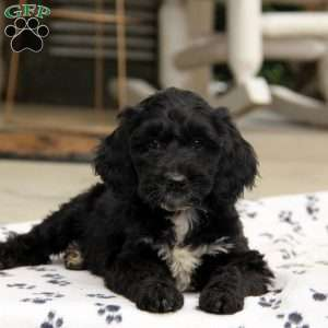 Springerdoodle For Sale In Indianapolis - 0425