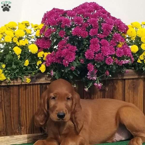 Robert, Irish Setter Puppy