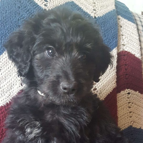 Rory, Aussiedoodle Puppy