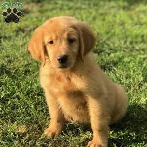 Golden Labrador Puppies For Sale Golden Lab Greenfleid Puppies
