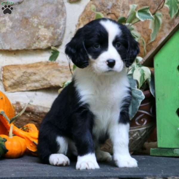 Sonny - English Springer Spaniel Mix Puppy For Sale in