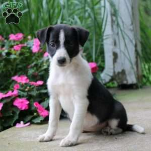 Border Collie Mix Puppies For Sale Border Collie Mix Greenfield