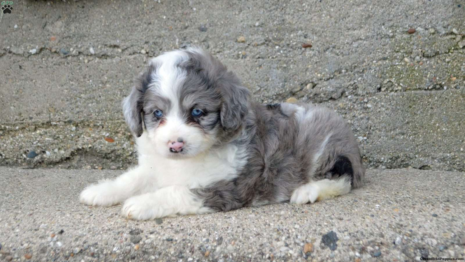 Tiana Miniature Aussiedoodle Puppy For Sale In Illinois