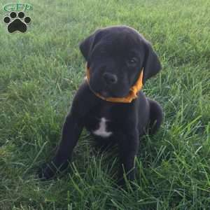 Great Dane Mix Puppies For Sale Great Dane Mix Greenfield Puppies