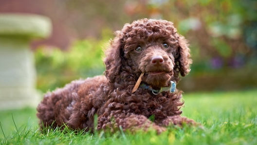 Are There Really Hypoallergenic Dog Breeds?