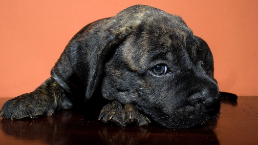 4 Things to Know About Presa Canario Puppies