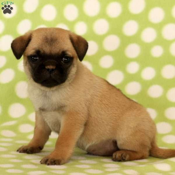 Ansel - Puggle Puppy For Sale in Pennsylvania
