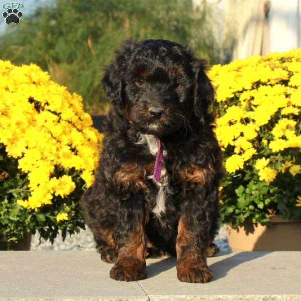 Anthony Miniature Aussiedoodle Puppy For Sale In Pennsylvania