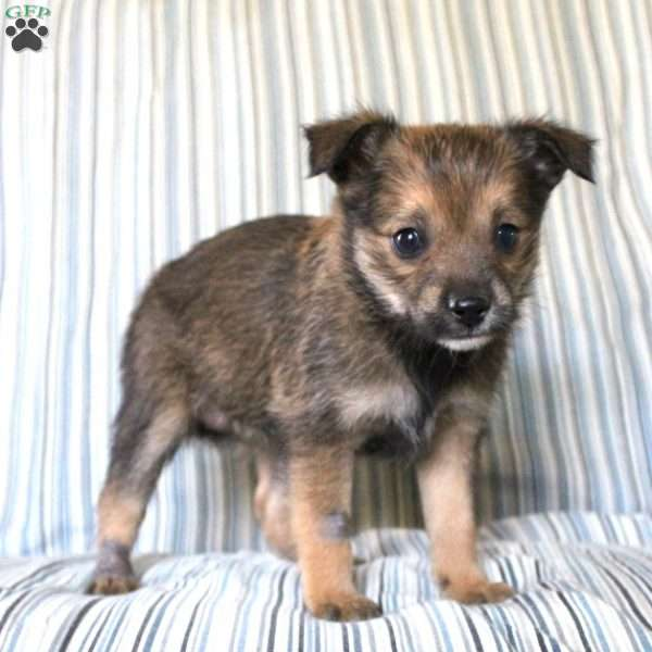 Bubbles - Cairn Terrier Mix Puppy For Sale in Pennsylvania