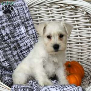 Miniature Schnauzer Puppies For Sale Greenfield Puppies