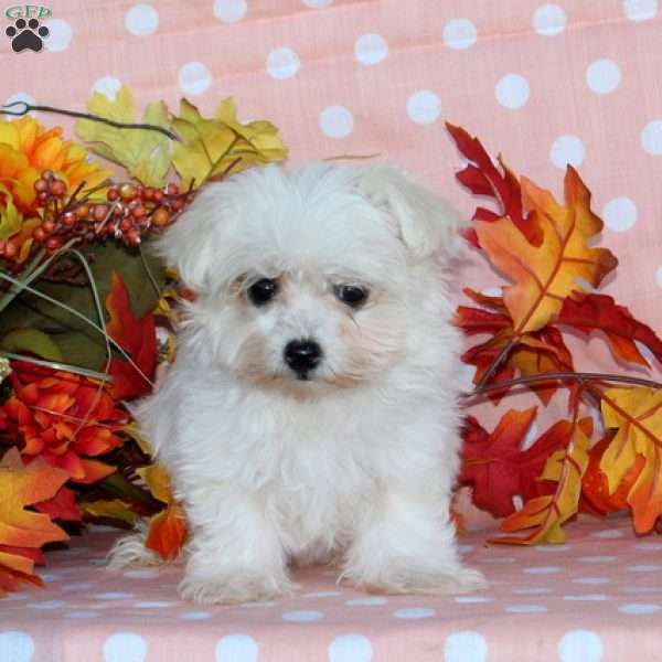 Giggles, Maltese Puppy
