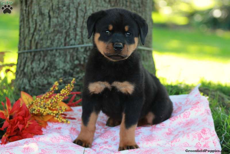 Houston Rottweiler Puppy For Sale In Pennsylvania