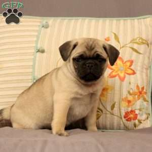 Pug Puppies For Sale Pug Dog Breed Profile Greenfield Puppies