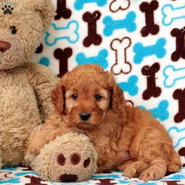 Jojo, Mini Goldendoodle Puppy