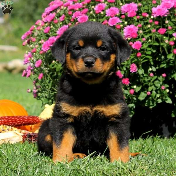 Odyssey Rottweiler Puppy For Sale In Pennsylvania
