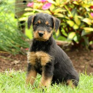 Airedale Terrier Puppies For Sale Greenfield Puppies