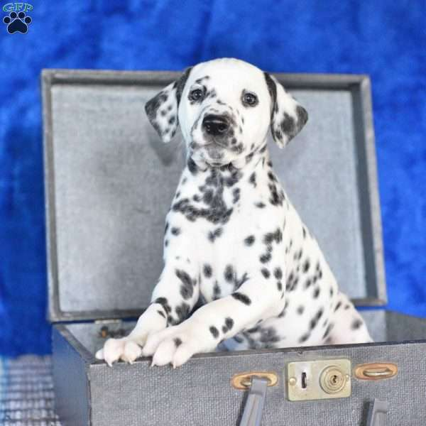 Stacy Dalmatian Puppy For Sale In Ohio