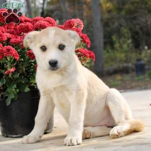 Siberian Husky Mix Puppies For Sale Husky Mix Puppies Greenfield