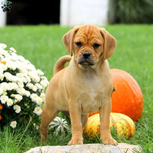Twilight - Puggle Puppy For Sale in Pennsylvania