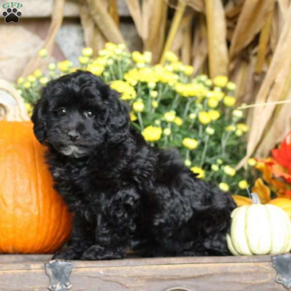 Whinnie, Mini Schnoodle Puppy