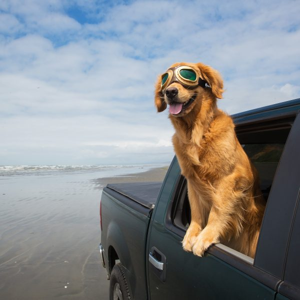 golden retriever wearing googles and riding in a truck