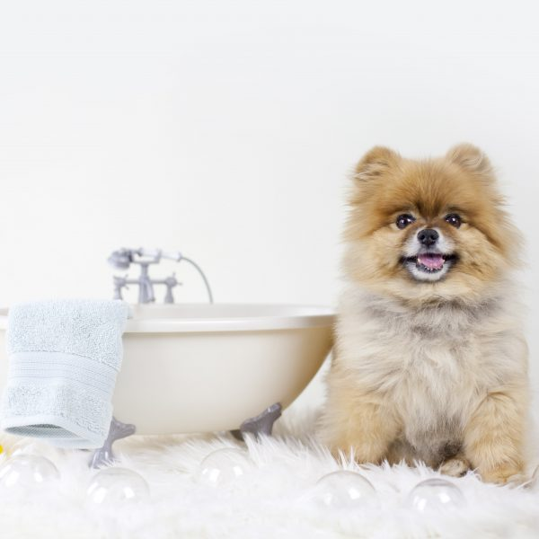 pomeranian next to a small bathtub