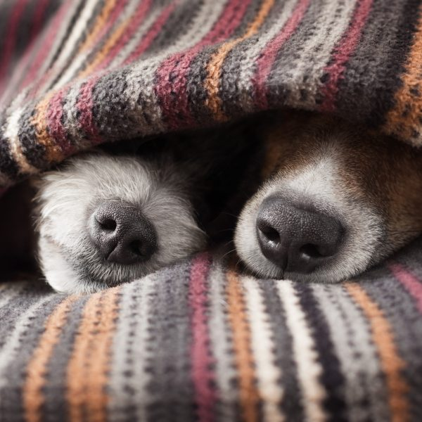 two dogs sleeping under a blanket with only their snouts sticking out