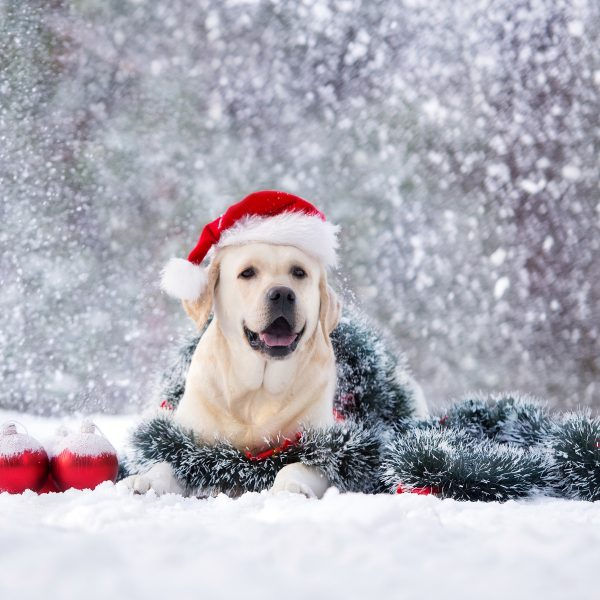 yellow lab in a santa hat lying in snow