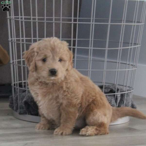 Hope, Mini Goldendoodle Puppy