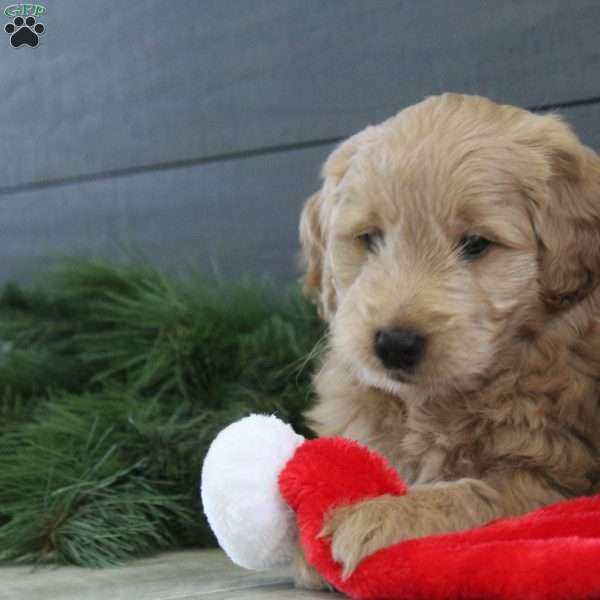 Beau, Mini Goldendoodle Puppy