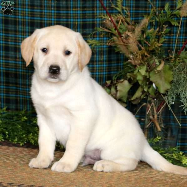 Ajay, Yellow Labrador Retriever Puppy