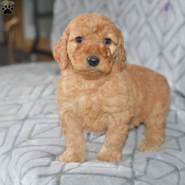 Amber, Mini Goldendoodle Puppy
