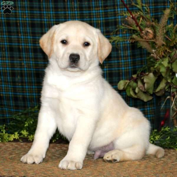 Apollo, Yellow Labrador Retriever Puppy
