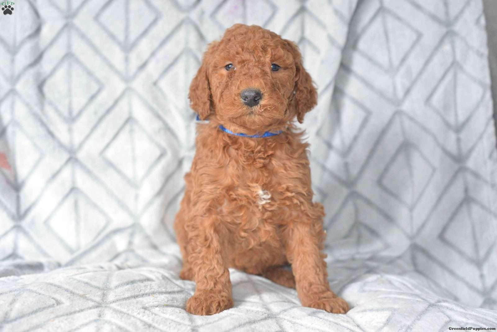 Ashley Mini Goldendoodle Puppy For Sale In Ohio