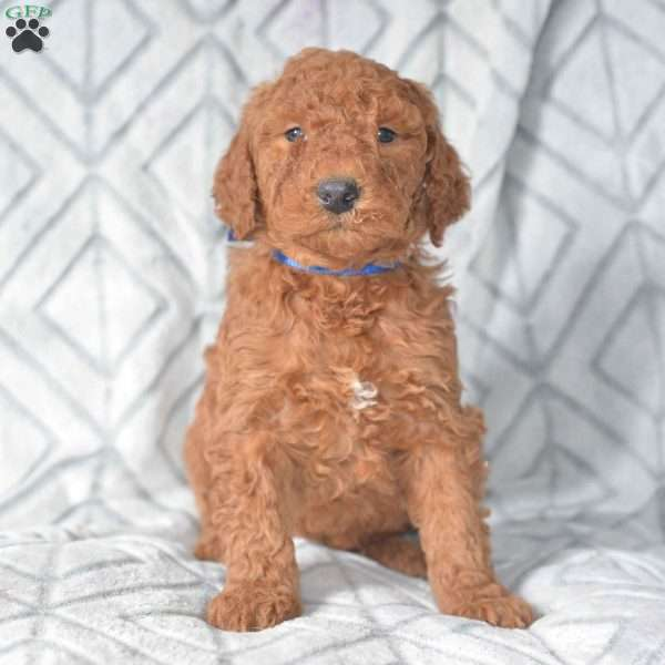 Ashley, Mini Goldendoodle Puppy