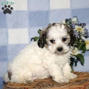 Shih Poo Puppies For Sale Shih Poo Breed Info Greenfield Puppies