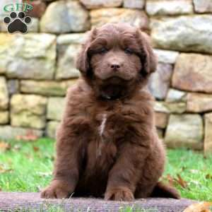 Newfoundland Puppies For Sale Newfy Breed Profile Greenfield Puppies