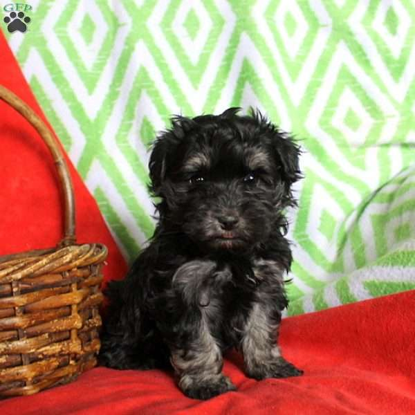 Bowser, Havanese Puppy