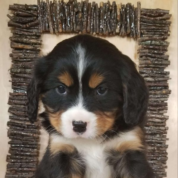 Charlie Miniature Bernese Mountain Dog Puppy For Sale In Ohio