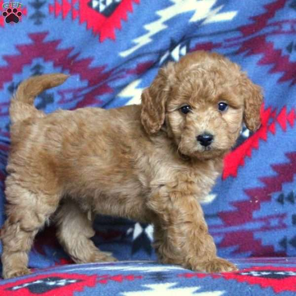 Charlie, Mini Goldendoodle Puppy