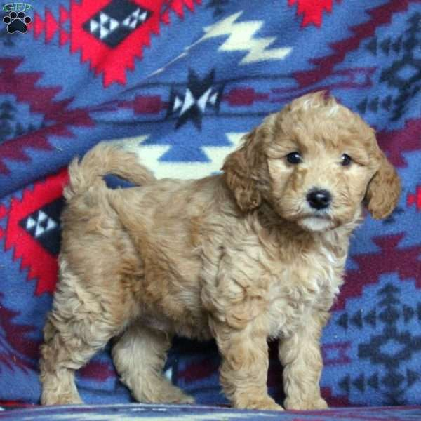 Chase, Mini Goldendoodle Puppy