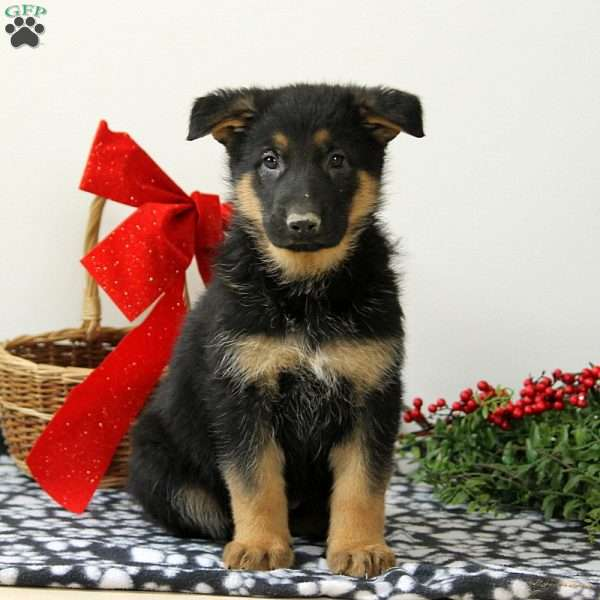 Chassie, German Shepherd Puppy