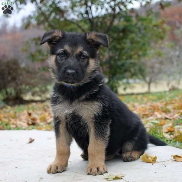Coffee, German Shepherd Puppy