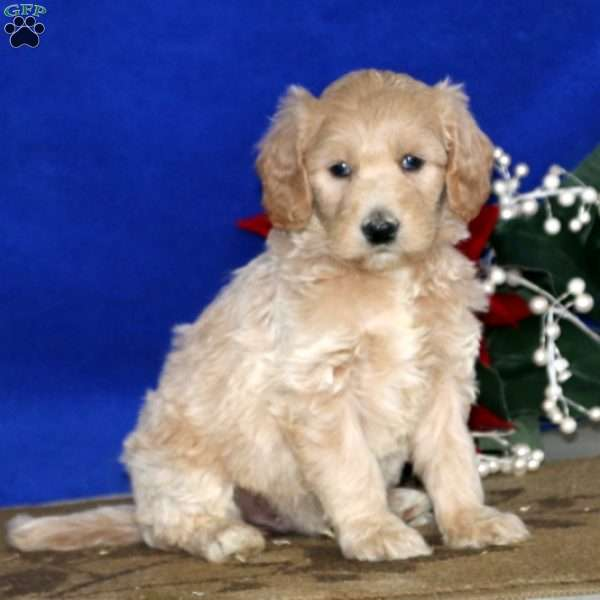 Colton, Mini Goldendoodle Puppy